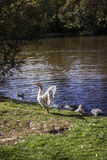 Goose Flapping its Wings Stock Photos