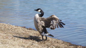 Goose flapping wings by lake Royalty Free Stock Photography