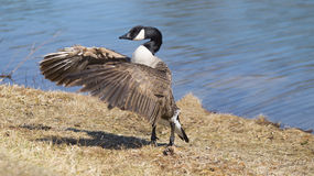 Goose flapping wings by lake Stock Image
