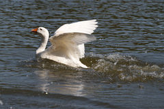 Goose flaps its wings over the water Royalty Free Stock Photos