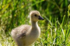 Goose fledgling Stock Image