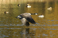 Goose In Flight royalty free stock photography
