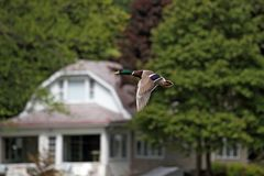 A goose in flight Royalty Free Stock Image