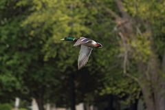 A goose in flight Royalty Free Stock Photography
