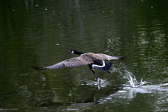 Goose in flight. Canadian goose taking flight Stock Image