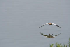 Goose in flight Stock Images