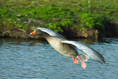 Goose in flight Stock Photo