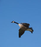 Goose in Flight. Canada goose taking flight Royalty Free Stock Images
