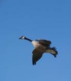 Goose in Flight. Canada goose taking flight royalty free stock images