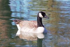 Goose floating on a calm pond Royalty Free Stock Photography