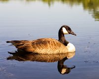 Goose floating down the creek Stock Photos