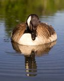 Goose floating down the creek Royalty Free Stock Images