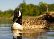 Goose floating down the creek Stock Image