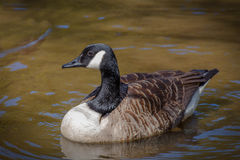 Goose. A goose floating on a lake royalty free stock image