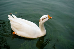 Goose floating on water. White goose floating on green water Stock Images
