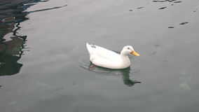 Goose floats in water stock footage