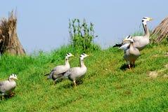 Goose flock Royalty Free Stock Photos