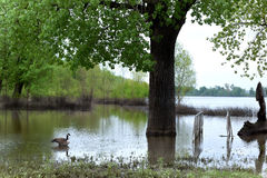 Goose at flooded boat ramp. Lone goose at boat ramp Royalty Free Stock Images