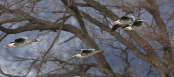 Goose in flying Royalty Free Stock Image