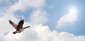 Goose Flying. One Goose flying, with a bright background Royalty Free Stock Photo
