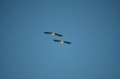 Goose flying Stock Image