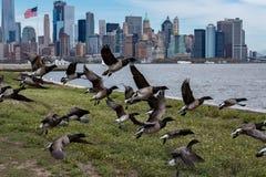 Goose flying over manhattan new york city landscape background. Birds goose flying over manhattan new york city landscape background Stock Photos