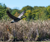 Goose Flying Over the Marsh Stock Photos