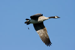 Goose Flying and Pooping Royalty Free Stock Photography