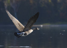 Goose Flying into the Shadows Stock Photo