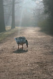 Goose in a foggy park Royalty Free Stock Images