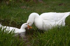 Goose, a free breeding Stock Photos