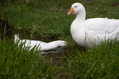 Goose, a free breeding Stock Image