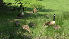 Goose gaggle eating grass stock footage