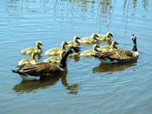 Goose and Gander. Canadian geese with their babies Stock Images