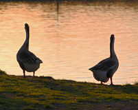 The Goose and the Gander Stock Photos