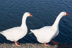 Goose and Gander. A gander follows a goose Royalty Free Stock Images