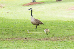 Goose or Gander and Gosling Royalty Free Stock Photo