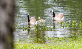 Goose Gander and Gosling Royalty Free Stock Photography