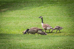 Goose Gander and Goslings Royalty Free Stock Photos