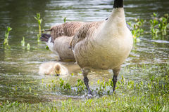 Goose or Gander Waterproof  Feathers and Gosling Stock Image