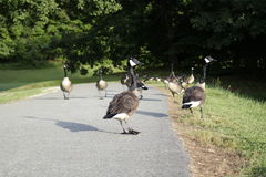Goose, geese crossing road Royalty Free Stock Photo