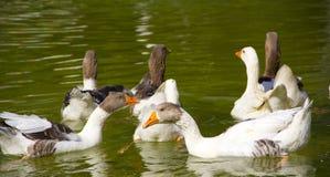 Goose Royalty Free Stock Photos