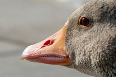 Goose, Geese Head, Animal, Nature Royalty Free Stock Images