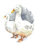Goose geese walking farm animals pets watercolor painting illustration isolated on white background Stock Image