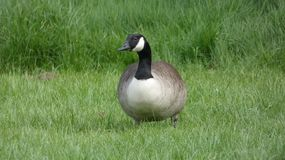 Goose is getting fat in the grass royalty free stock images