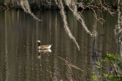 Goose gliding on southern lake and Spanish moss. Royalty Free Stock Photos