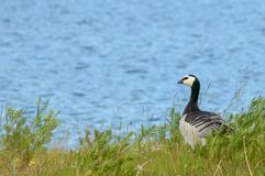 The goose royalty free stock images
