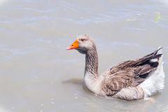 A goose. A goose swimming in a pond in Houston Texas Stock Image