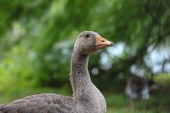 Goose. Goowe looking in camera Stock Photos