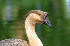 Goose. Gose resting in front of the green waters of a lake Royalty Free Stock Image